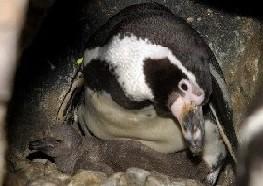 Nace el primer pingüino del Oceanográfico